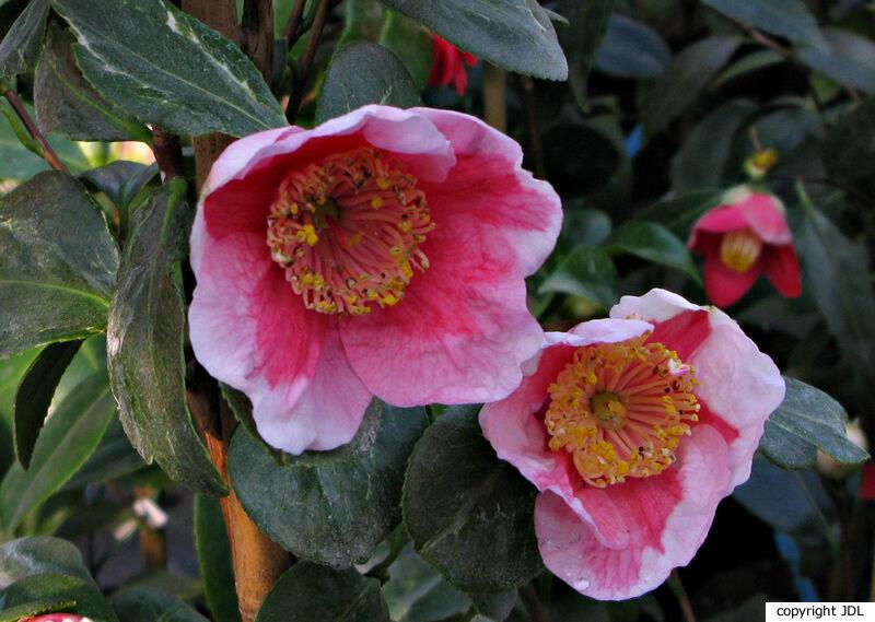 Camellia japonica L. 'Tafuku-benten'