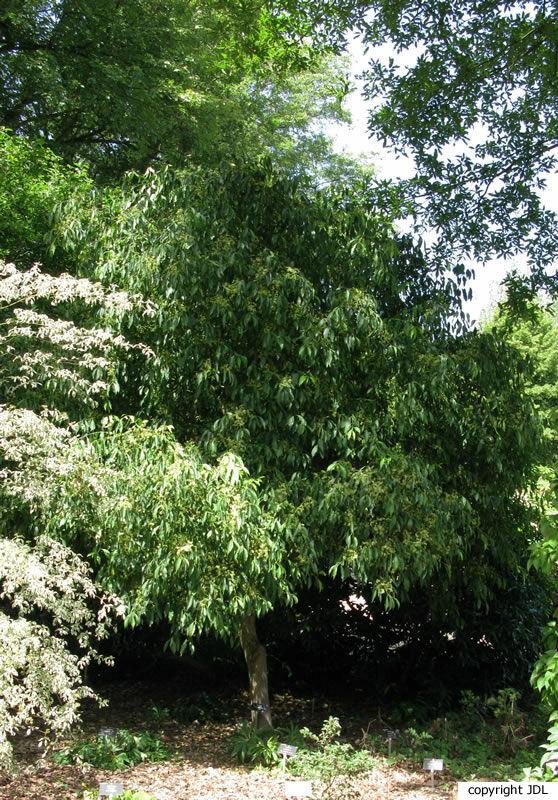 Euonymus bungeanus Maxim.