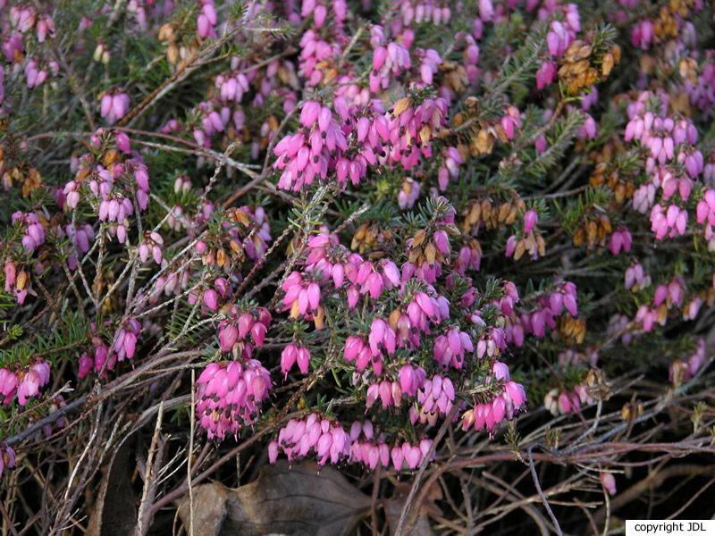 Erica carnea L. 'Winterfreude'