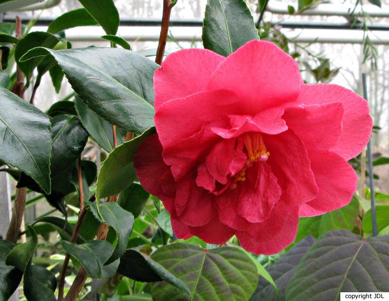 Camellia japonica L. 'Raspberry Ripple'