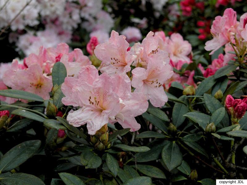 Rhododendron 'Percy Wiseman' (R. yakushimanum × R. 'Fabia Tangerine')