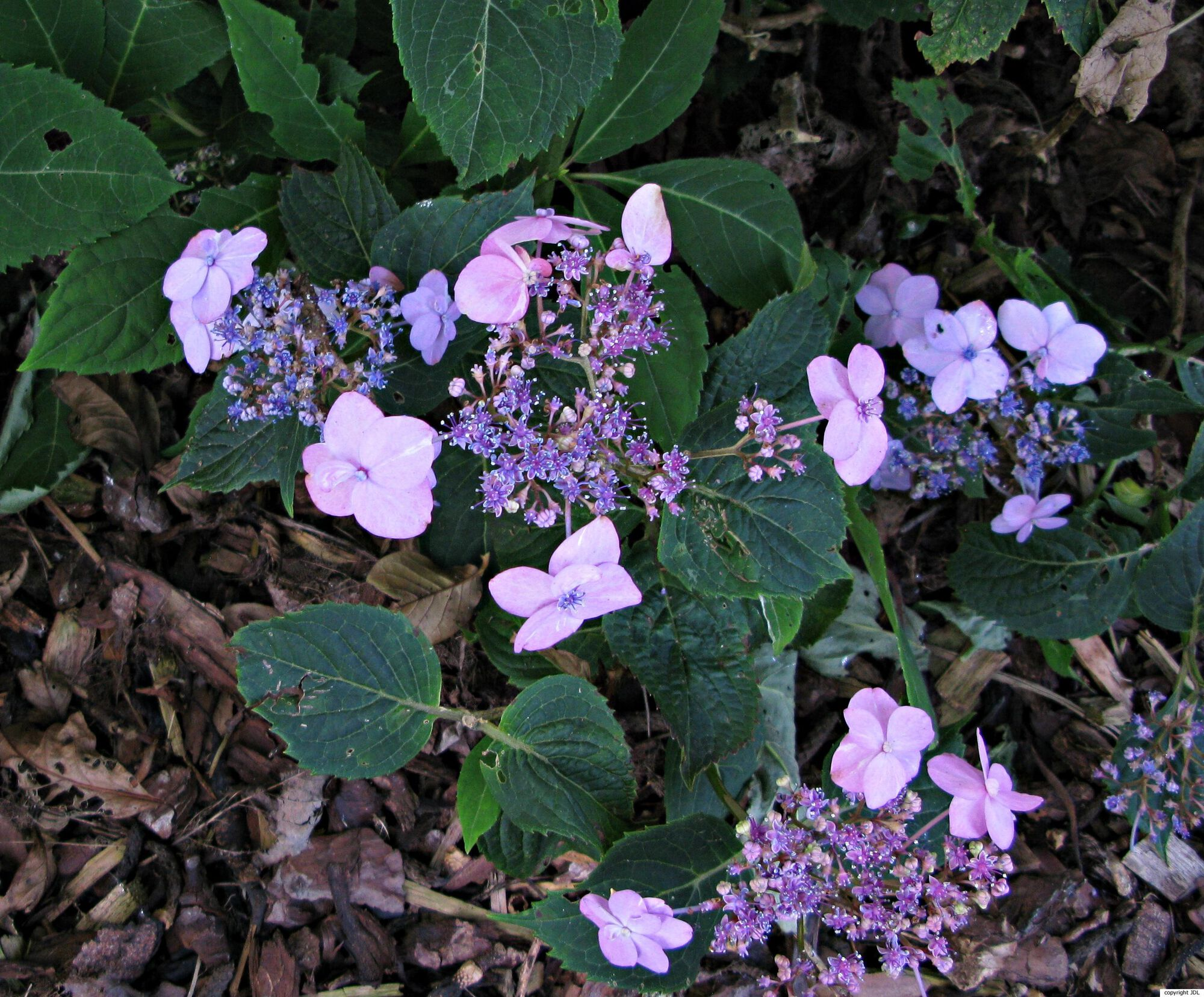 Hydrangea serrata (Thunb.) Ser. 'Hallasan'