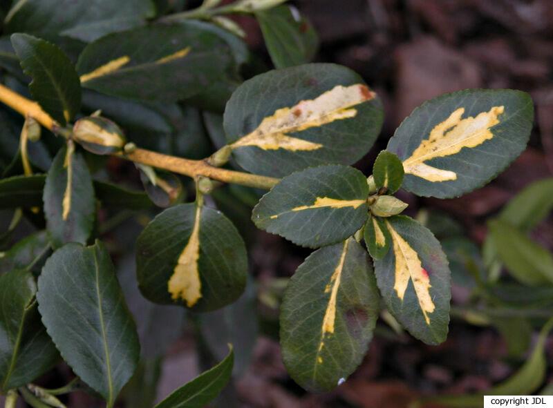 Euonymus fortunei (Turcz.) Hand-Mazz. 'Sunspot'