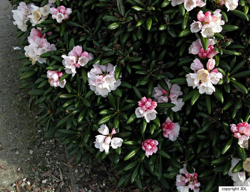Rhododendron yakushimanum Nakai 'Koichiro Wada'