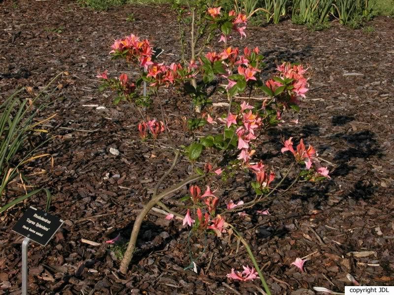 Rhododendron 'Cupreum Splendens' (Harde Gentse)