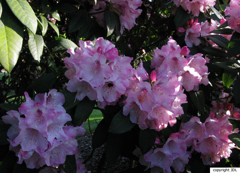 Rhododendron 'Grugaperle' (R. insigne × R. williamsianum)