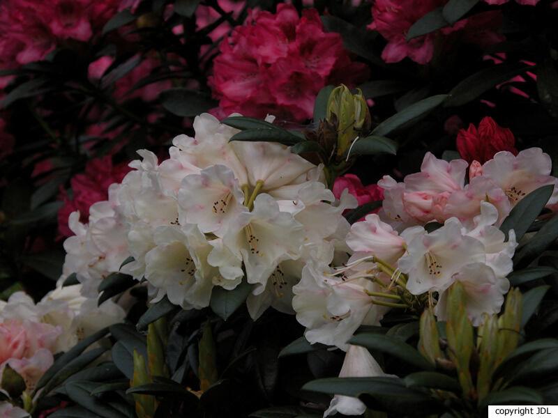 Rhododendron 'Grumpy' (R. yakushimanum × ? hybrid)