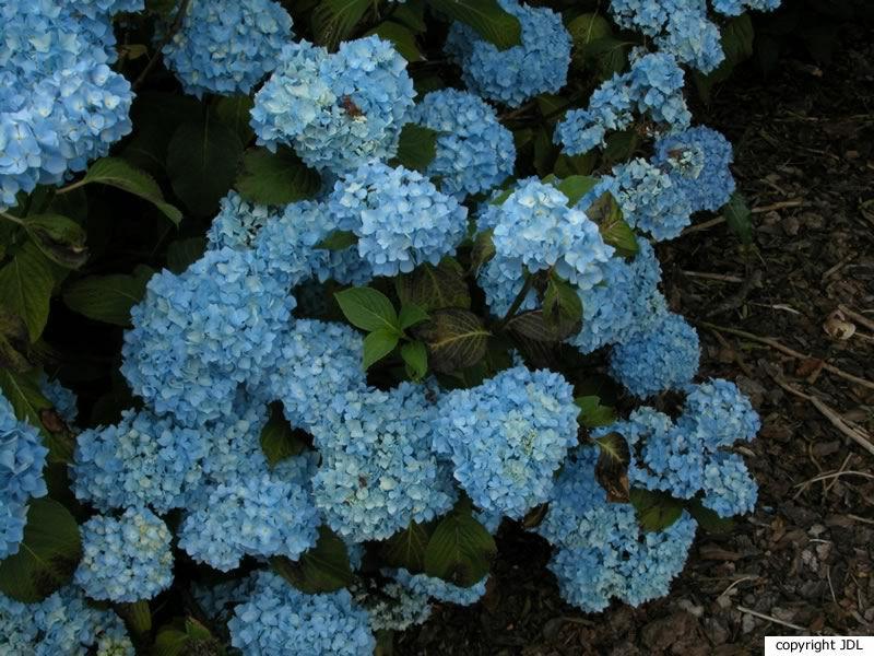 Hydrangea macrophylla (Thunb.) Ser. 'Générale Vicomtesse de Vibraye'
