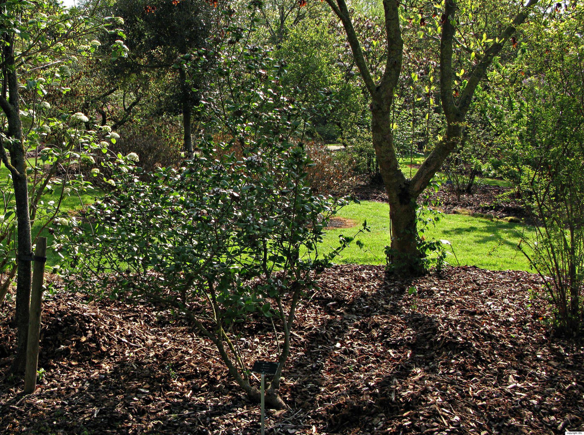 Viburnum ×burkwoodii Burkw. & Skipw. 'Anne Russell' (V. carlesii × (V. carlesii × V. utile))