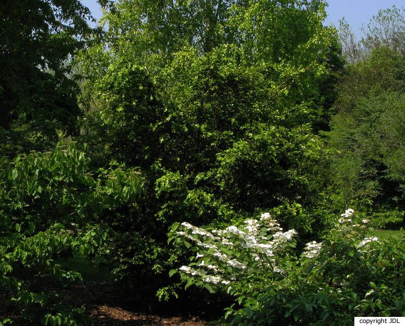 Buxus sinica (Rehder & E. H.Wilson) M.Cheng
