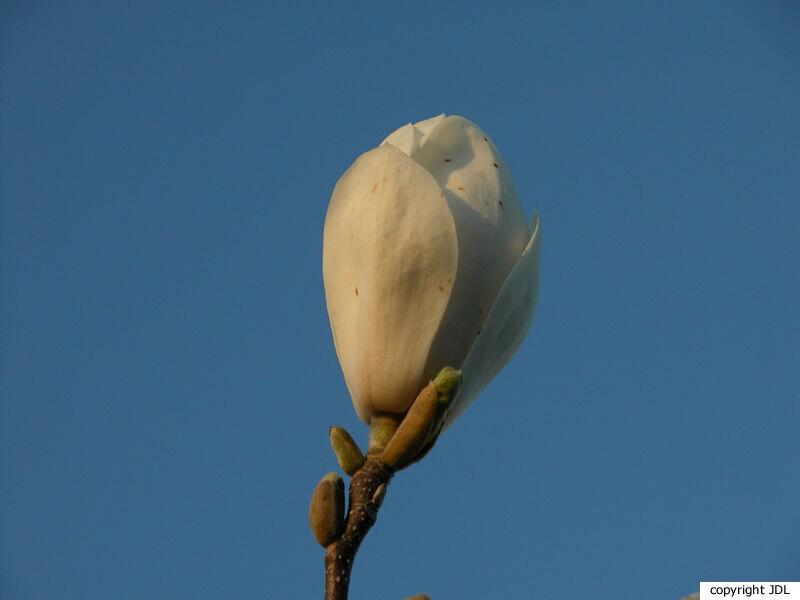 Magnolia ×soulangeana Soul.-Bod. 'Lennei Alba' (M.denudata × M.liliiflora)
