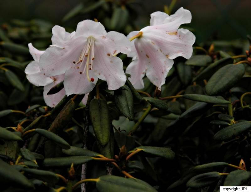 Rhododendron 'Brocade' (R. 'Vervaeneanum' × R. williamsianum)
