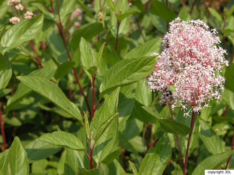 Ceanothus ×pallidus Lindl. 'Marie Simon' (C. × delilianus × C. ovatus)