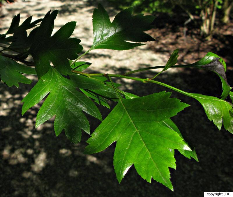 Crataegus ×mordenensis Boom 'Toba' (C. laevigata 'Paul's Scarlet' × C. succulenta)