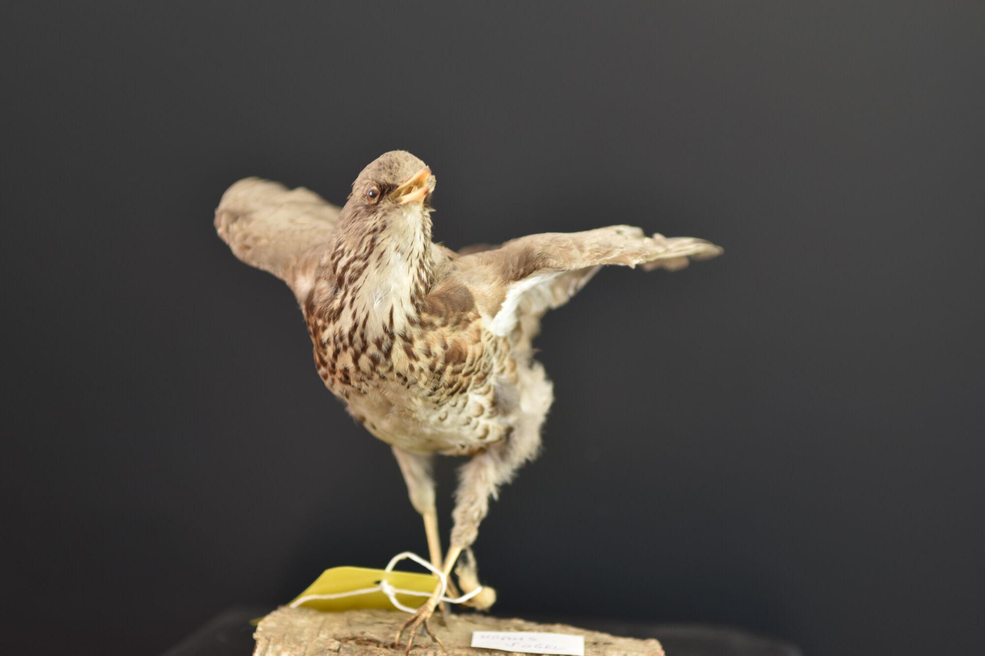 Opgezette Kramsvogel