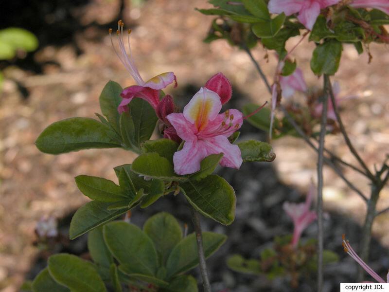 Rhododendron 'General Trauff' (Harde Gentse)