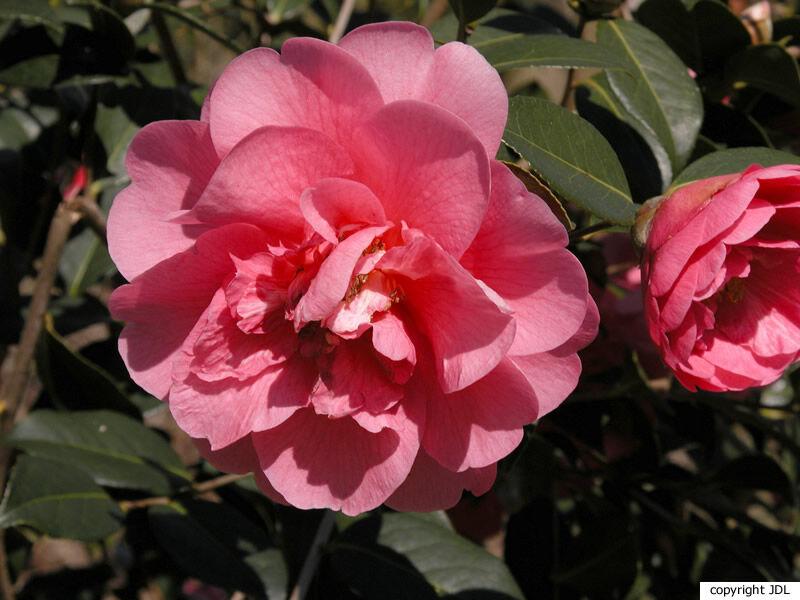 Camellia ×williamsii W.W.Sm. 'Elegant Beauty' (C. japonica × C. saluenensis)