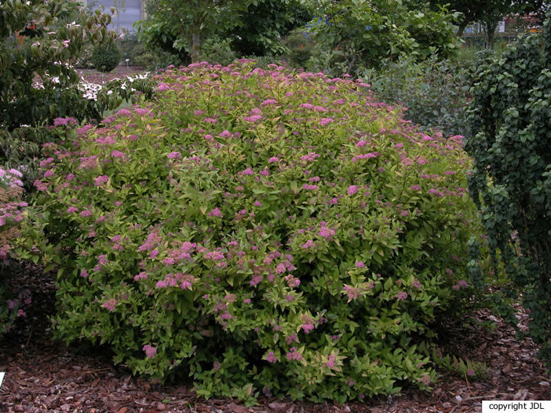 Spiraea japonica L.f. 'Firelight'