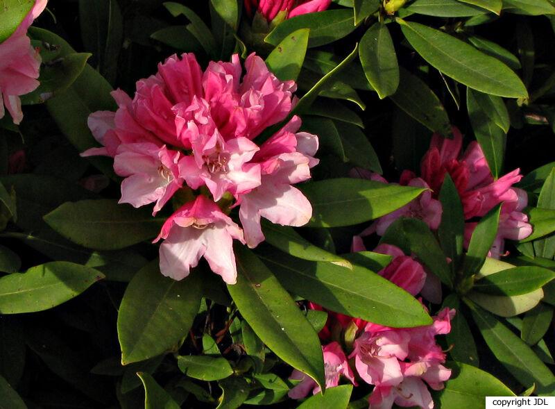 Rhododendron 'Pink Cherub' (R. yakushimanum × R. 'Doncaster')