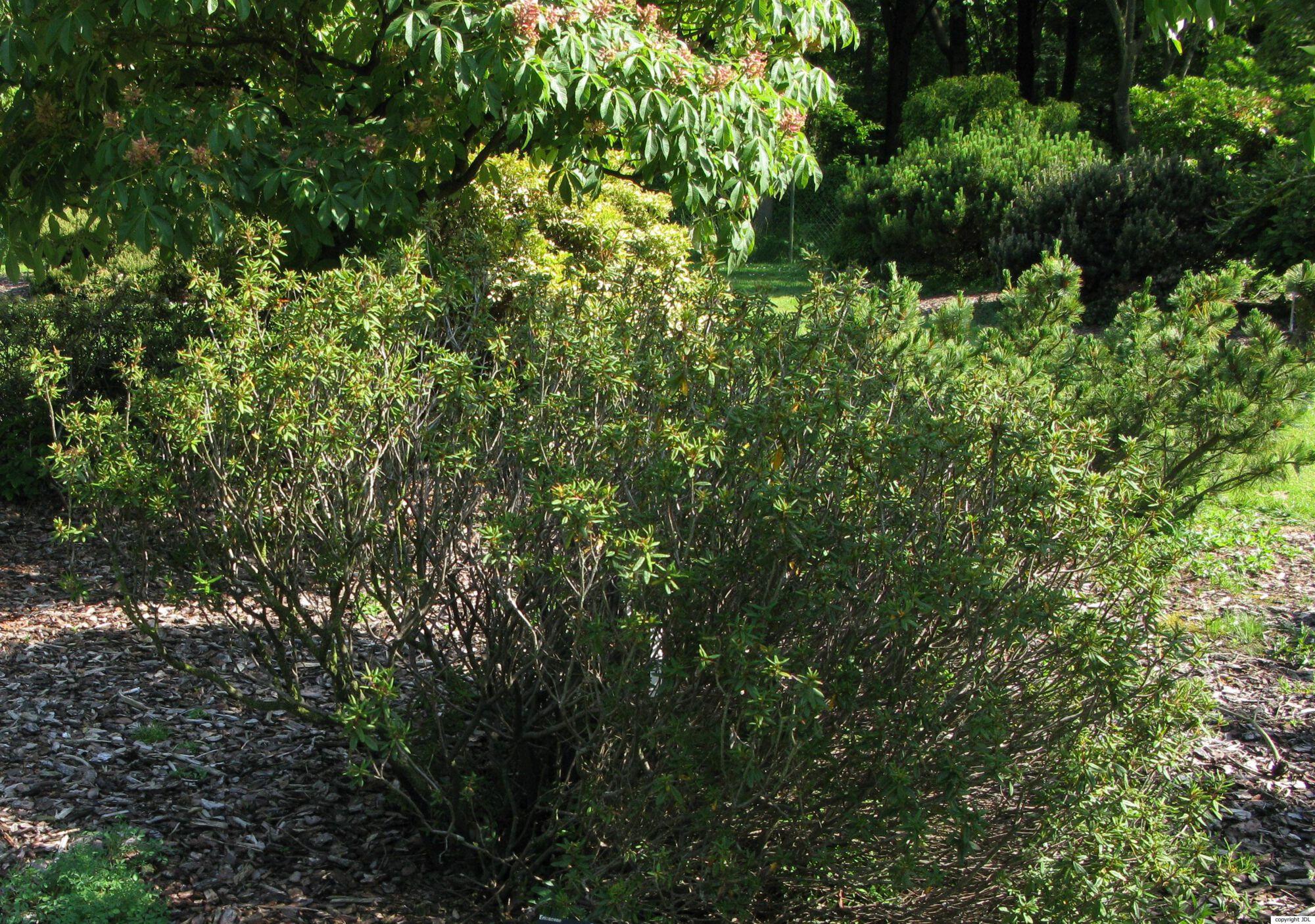Rhododendron groenlandicum Kron & Judd
