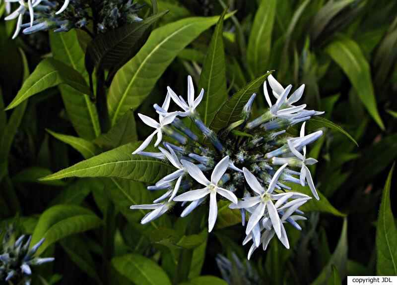 Amsonia illustris Woodson