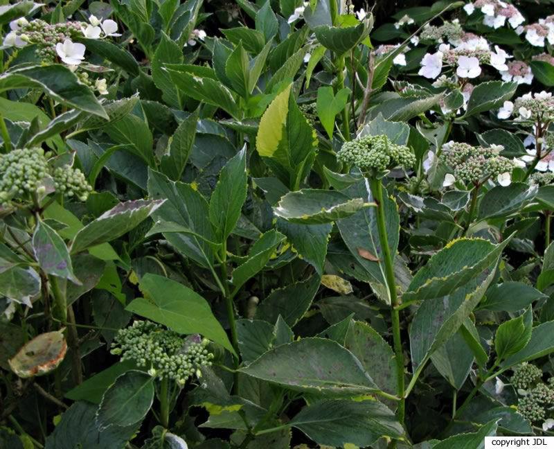 Hydrangea macrophylla (Thunb.) Ser. 'Maculata'