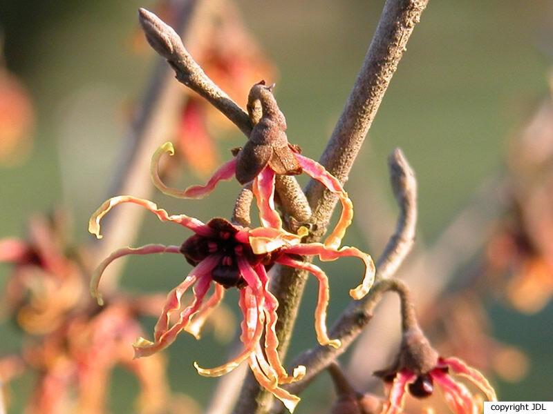 Hamamelis japonica Siebold & Zucc. var. flavopurpurascens (Makino) Rehder