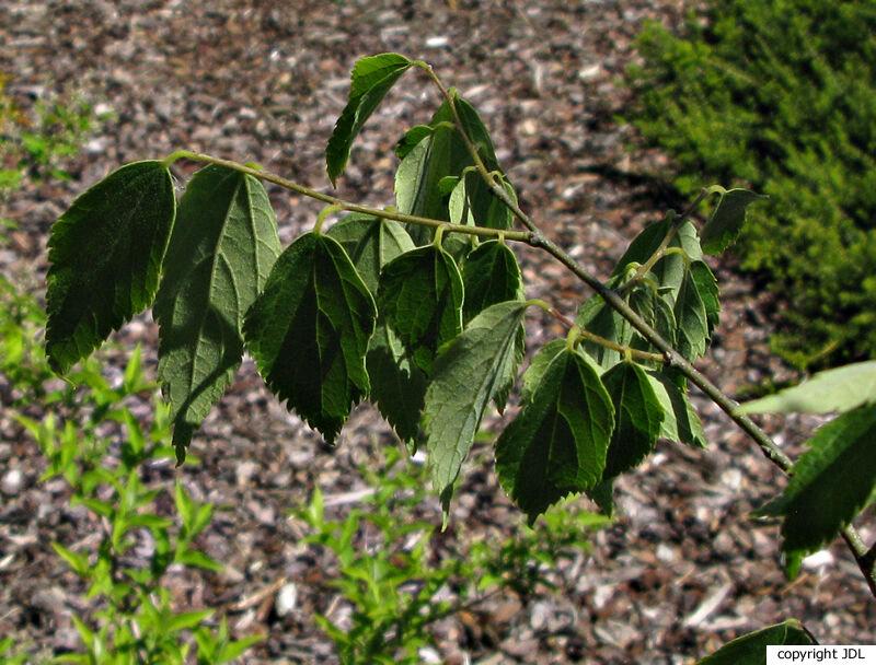 Celtis australis L. subsp. caucasica (Willd.) C.C.Towns.