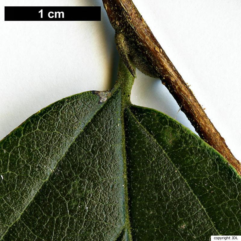 × Sycoparrotia semidecidua Endress & Anliker