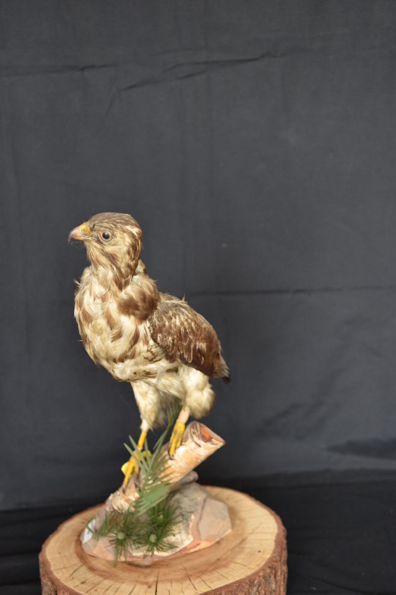 20190826 Collectie Opgezette dieren