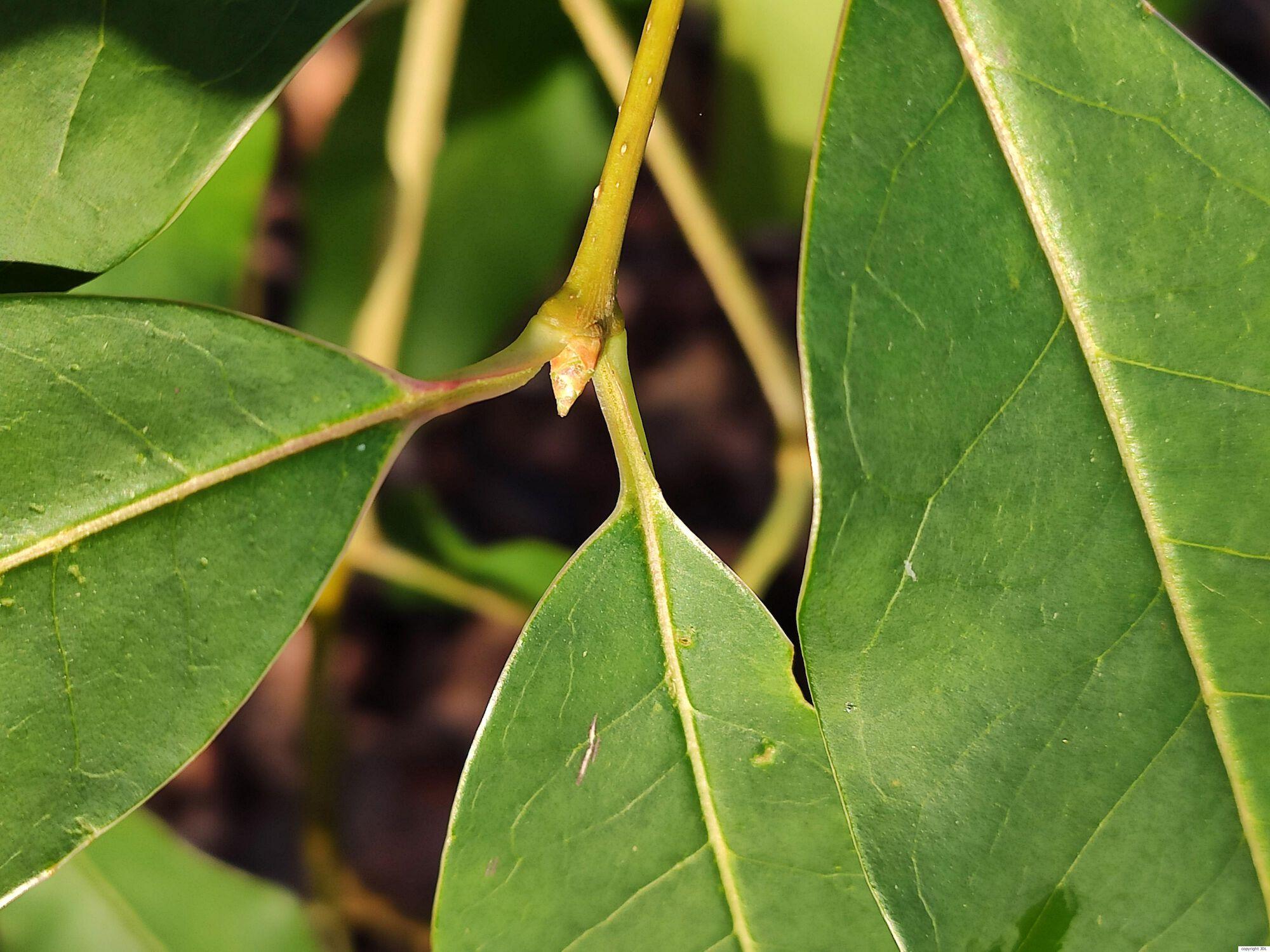 Ligustrum compactum Brandis