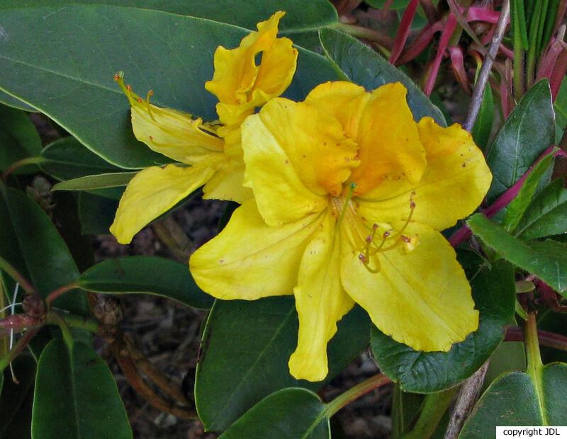 Rhododendron 'Hugh Wormald' (Knap Hill/Exbury)