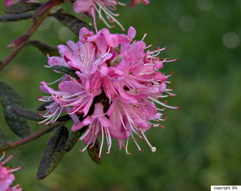 Rhododendron scabrifolium Franch.