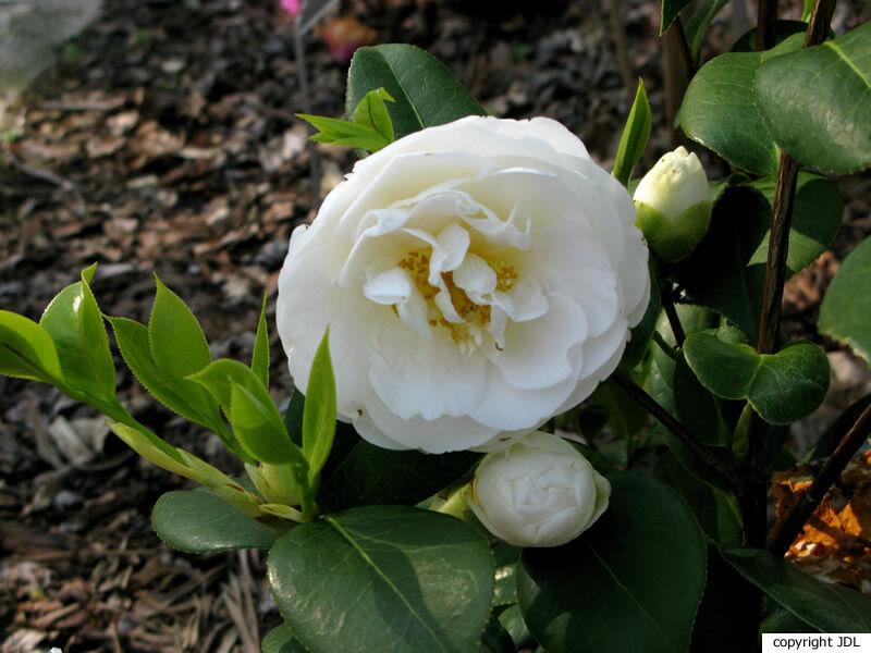 Camellia ×williamsii W.W.Sm. 'E.T.R. Carlyon' (C. japonica 'Adolphe Audusson' × C. ×williamsii 'J.C.Williams')